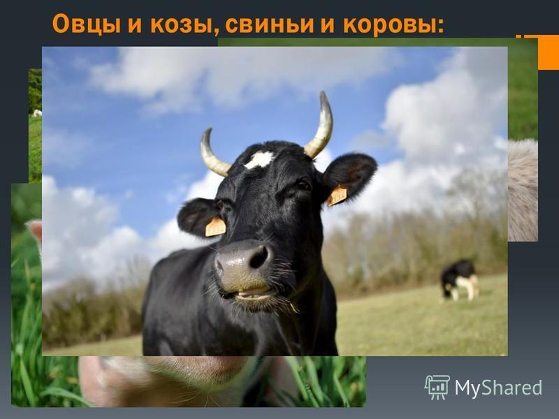 Овцы и козы, свиньи и коровы: 9000-7000 л. до н.э. В скором времени после собак, среди прирученных животных, фигурируют козы, овцы, коровы и свиньи. Первые овцы были одомашнены в качестве источника пищи на Ближнем Востоке. Позже козы и овцы стали пос