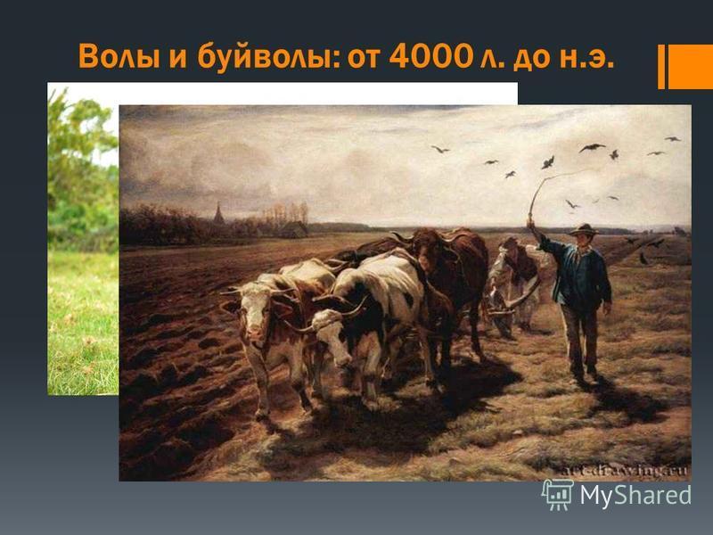 Волы и буйволы: от 4000 л. до н.э. Из четырех основных сельскохозяйственных групп животных, крупный рогатый скот представляет собой наиболее значительное развитие в деревенской жизни. Грубая сила вола является отличным дополнением к мускульной силе ч