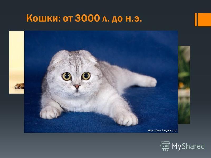 Кошки: от 3000 л. до н.э. Кошки долгое время держались подальше от людей. Их одинокий образ жизни (не стадный или групповой) отлично помогал в этом. Кошек привлекала пища и кров, которые они могли найти в людских поселениях. После приручения кошки бы