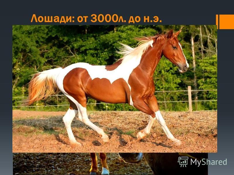 Лошади: от 3000 л. до н.э. Люди обрели наиболее важного союзника из животного царства, когда они одомашнили лошадь. Дикие лошади различных видов распространились на протяжении большей части мира к тому времени, когда началась история человека. Их кос