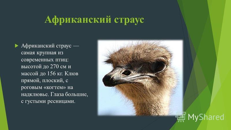 Африканский страус Африканский страус самая крупная из современных птиц: высотой до 270 см и массой до 156 кг. Клюв прямой, плоский, с роговым «когтем» на надклювье. Глаза большие, с густыми ресницами.