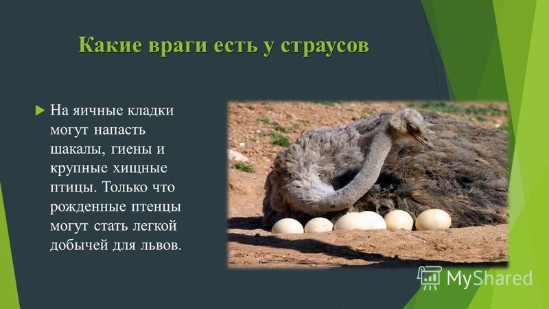 Какие враги есть у страусов На яичные кладки могут напасть шакалы, гиены и крупные хищные птицы. Только что рожденные птенцы могут стать легкой добычей для львов.