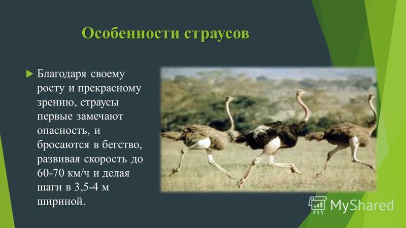 Особенности страусов Благодаря своему росту и прекрасному зрению, страусы первые замечают опасность, и бросаются в бегство, развивая скорость до 60-70 км/ч и делая шаги в 3,5-4 м шириной.