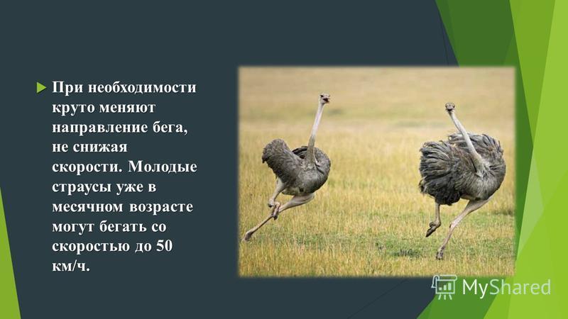При необходимости круто меняют направление бега, не снижая скорости. Молодые страусы уже в месячном возрасте могут бегать со скоростью до 50 км/ч. При необходимости круто меняют направление бега, не снижая скорости. Молодые страусы уже в месячном воз