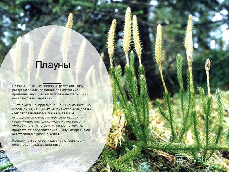 Плауны Плауны – высшие споровые растения. Плауны растут на земле, развивая прямостоячие, приподнимающиеся или ползучие стебли, или поселяются на деревьях. Листья мелкие, простые, линейные, ланцетные, игловидные, чешуйчатые. У некоторых видов на стебл