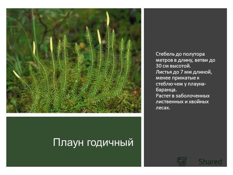Плаун годичный Стебель до полутора метров в длину, ветви до 30 см высотой. Листья до 7 мм длиной, менее прижатые к стеблю чем у плауна- баранца. Растет в заболоченных лиственных и хвойных лесах.