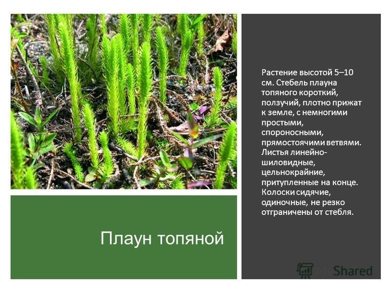 Плаун топяной Растение высотой 5–10 см. Стебель плауна топяного короткий, ползучий, плотно прижат к земле, с немногими простыми, спороносными, прямостоячими ветвями. Листья линейно- шиловидные, цельнокрайние, притупленные на конце. Колоски сидячие, о