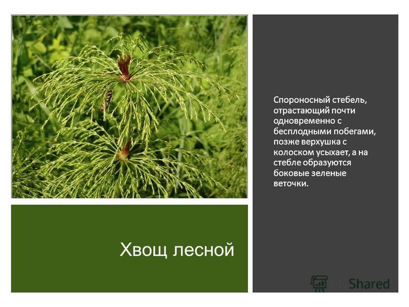 Хвощ лесной Спороносный стебель, отрастающий почти одновременно с бесплодными побегами, позже верхушка с колоском усыхает, а на стебле образуются боковые зеленые веточки.