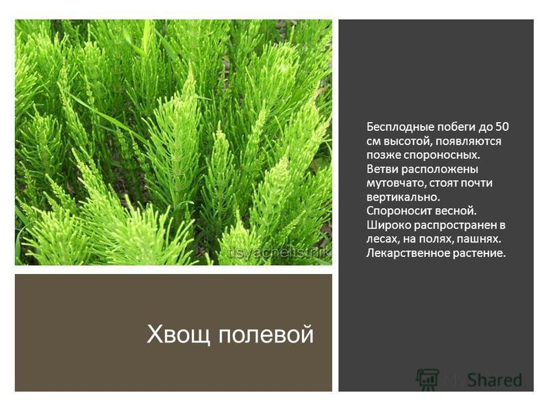Хвощ полевой Бесплодные побеги до 50 см высотой, появляются позже спороносных. Ветви расположены мутовчато, стоят почти вертикально. Спороносит весной. Широко распространен в лесах, на полях, пашнях. Лекарственное растение.