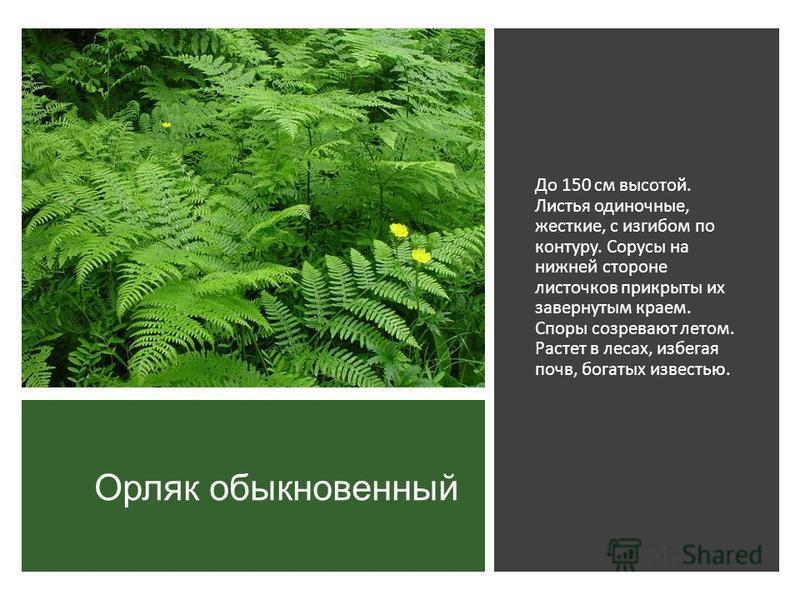 Орляк обыкновенный До 150 см высотой. Листья одиночные, жесткие, с изгибом по контуру. Сорусы на нижней стороне листочков прикрыты их завернутым краем. Споры созревают летом. Растет в лесах, избегая почв, богатых известью.