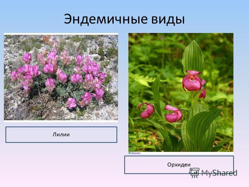 Эндемичные виды Лилии Орхидеи