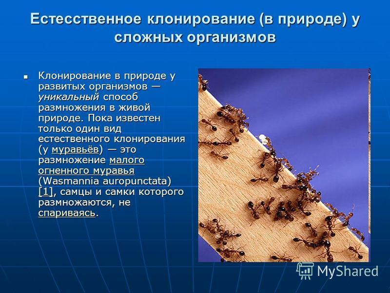 Естесственное клонирование (в природе) у сложных организмов Клонирование в природе у развитых организмов уникальный способ размножения в живой природе. Пока известен только один вид естественного клонирования (у муравьёв) это размножение малого огнен