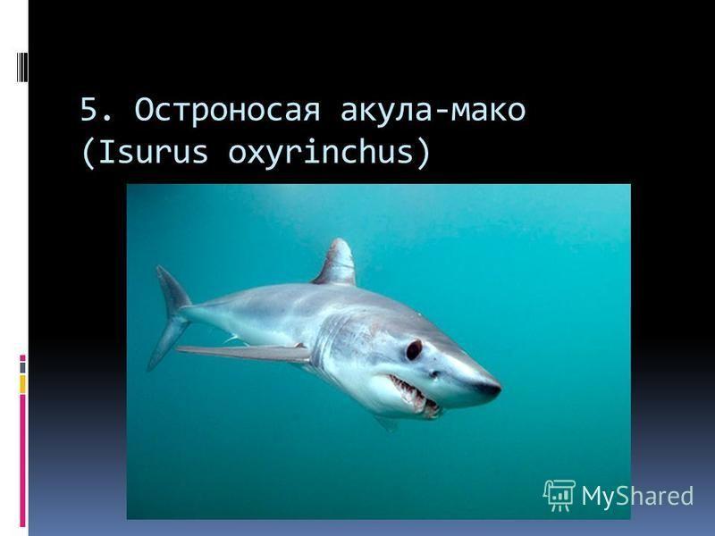 5. Остроносая акула-мако (Isurus oxyrinchus)