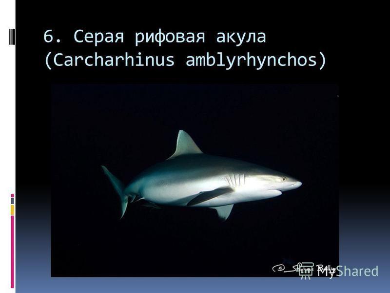 6. Серая рифовая акула (Carcharhinus amblyrhynchos)
