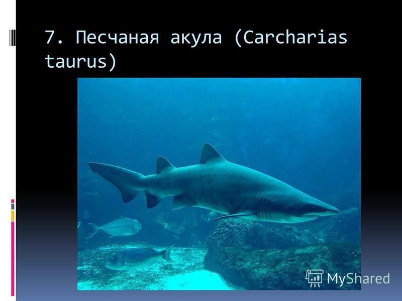 7. Песчаная акула (Carcharias taurus)