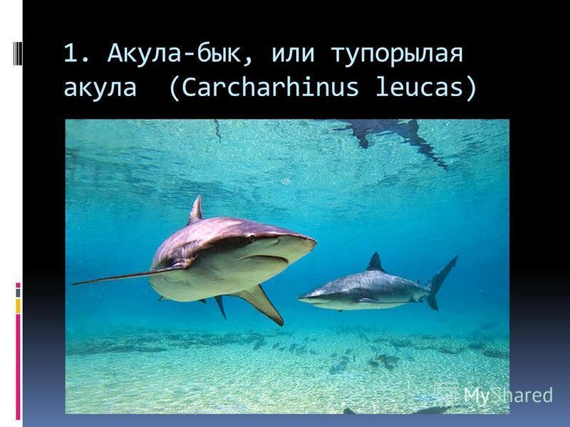 1. Акула-бык, или тупорылая акула (Carcharhinus leucas)