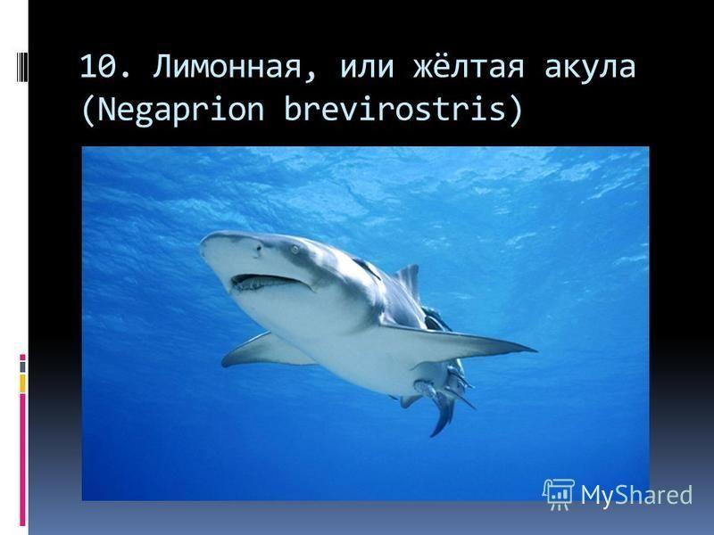 10. Лимонная, или жёлтая акула (Negaprion brevirostris)