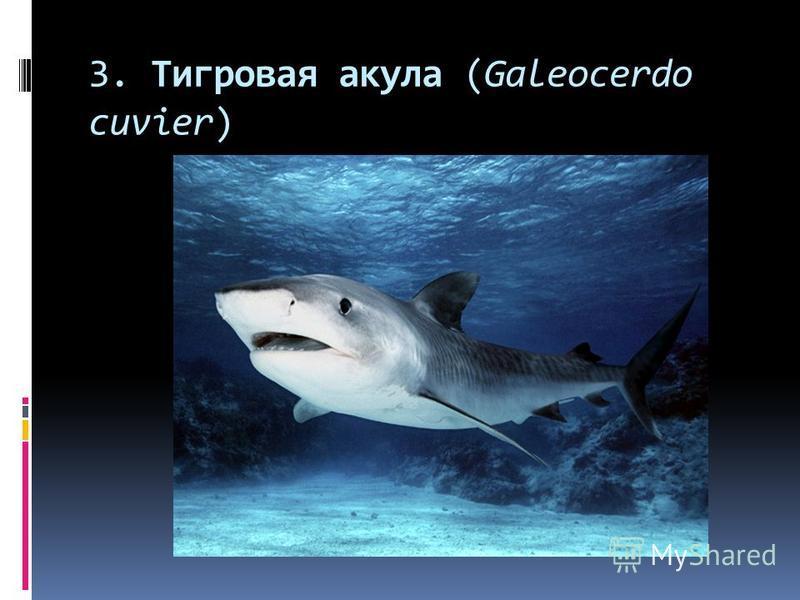 3. Тигровая акула (Galeocerdo cuvier)