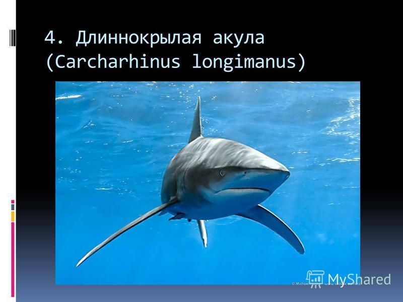 4. Длиннокрылая акула (Carcharhinus longimanus)