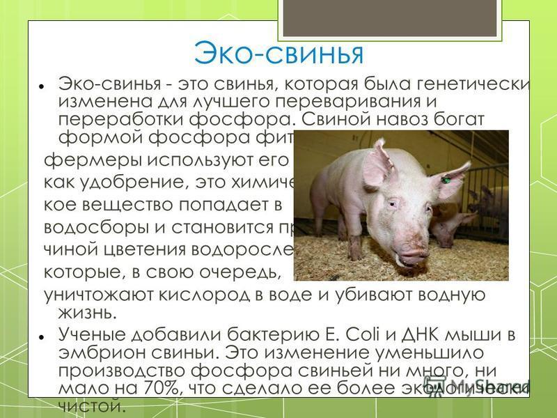 Эко-свинья Эко-свинья - это свинья, которая была генетически изменена для лучшего переваривания и переработки фосфора. Свиной навоз богат формой фосфора фиатом, а потому, когда фермеры используют его как удобрение, это химическое вещество попадает в