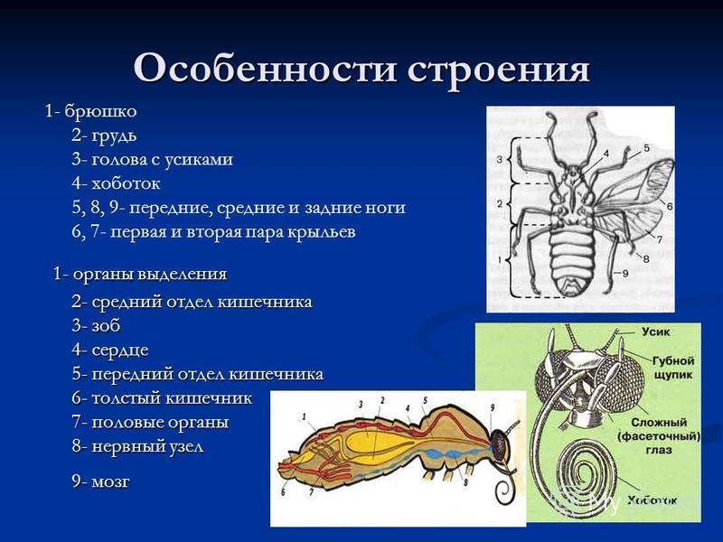 Особенности строения 1- брюшко 2- грудь 3- голова с усиками 4- хоботок 5, 8, 9- передние, средние и задние ноги 6, 7- первая и вторая пара крыльев 1- органы выделения 2- средний отдел кишечника 3- зоб 4- сердце 5- передний отдел кишечника 6- толстый