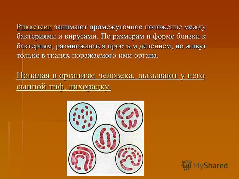Риккетсии занимают промежуточное положение между бактериями и вирусами. По размерам и форме близки к бактериям, размножаются простым делением, но живут только в тканях поражаемого ими органа. Попадая в организм человека, вызывают у него сыпной тиф, л