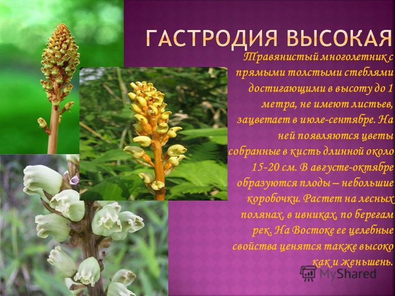 Травянистый многолетник с прямыми толстыми стеблями достигающими в высоту до 1 метра, не имеют листьев, зацветает в июле-сентябре. На ней появляются цветы собранные в кисть длинной около 15-20 см. В августе-октябре образуются плоды – небольшие коробо