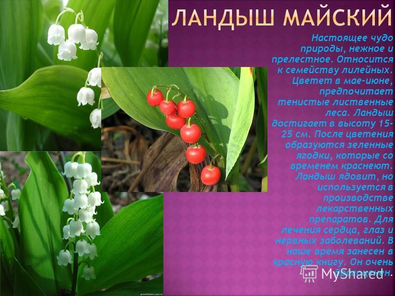 Настоящее чудо природы, нежное и прелестное. Относится к семейству лилейных. Цветет в мае-июне, предпочитает тенистые лиственные леса. Ландыш достигает в высоту 15- 25 см. После цветения образуются зеленные ягодки, которые со временем краснеют. Ланды
