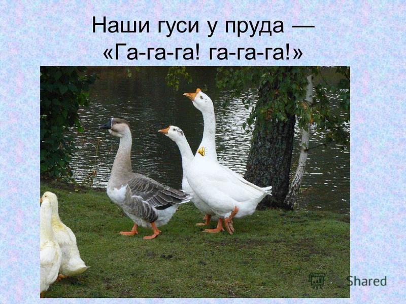 Наши гуси у пруда «Га-га-га! га-га-га!»