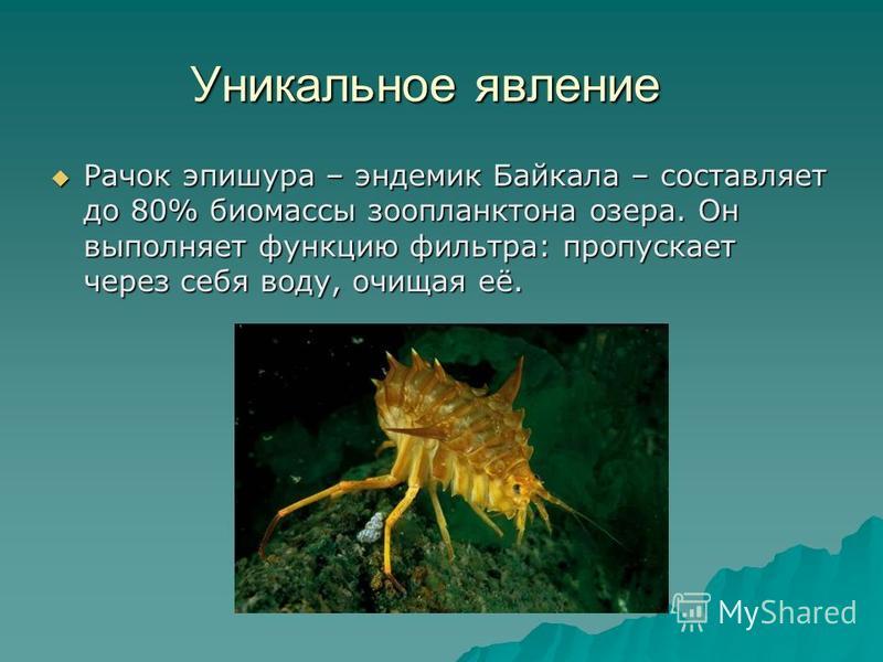 Растительный и животный мир По данным Лимнологического института Сибирского отделения РАН, в Байкале обитает 2630 видов и разновидностей растений и животных. 52 вида рыб нескольких семейств, 27 из которых эндемики, т.е. они нигде больше, кроме Байкал