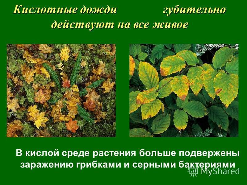 В кислой среде растения больше подвержены заражению грибками и серными бактериями Кислотные дожди губительно действуют на все живое