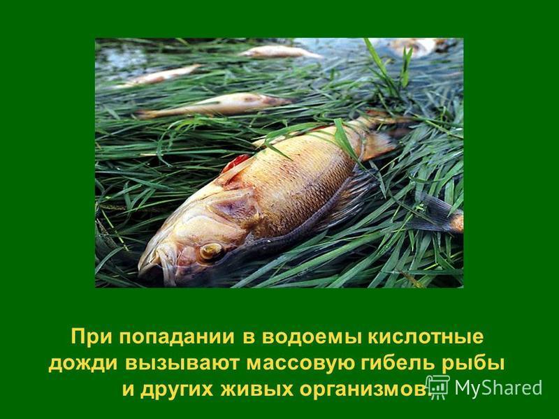 При попадании в водоемы кислотные дожди вызывают массовую гибель рыбы и других живых организмов.