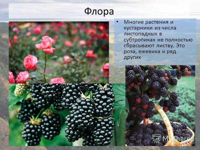 Многие растения и кустарники из числа листопадных в субтропиках не полностью сбрасывают листву. Это роза, ежевика и ряд других