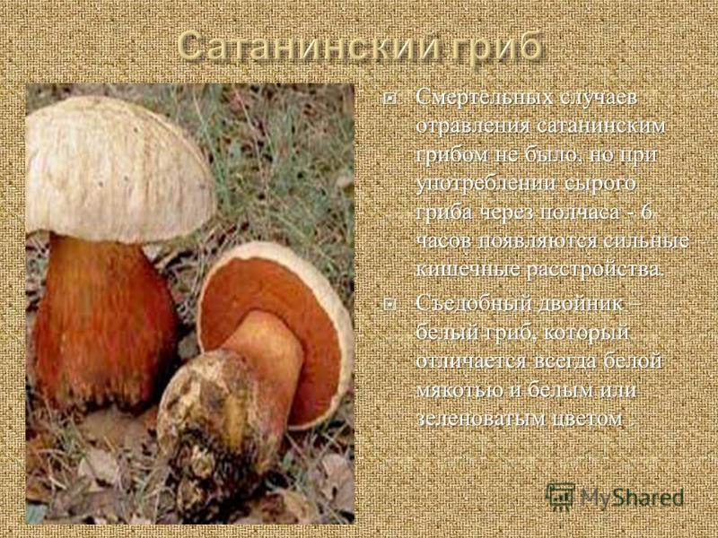 Смертельных случаев отравления сатанинским грибом не было, но при употреблении сырого гриба через полчаса - 6 часов появляются сильные кишечные расстройства. Смертельных случаев отравления сатанинским грибом не было, но при употреблении сырого гриба
