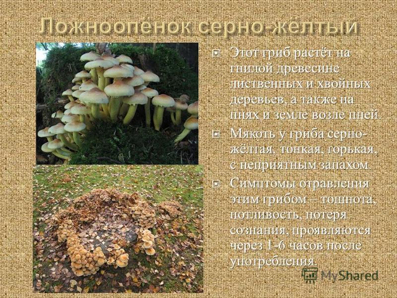 Этот гриб растёт на гнилой древесине лиственных и хвойных деревьев, а также на пнях и земле возле пней. Этот гриб растёт на гнилой древесине лиственных и хвойных деревьев, а также на пнях и земле возле пней. Мякоть у гриба серно - жёлтая, тонкая, гор