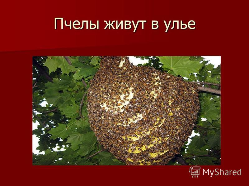 Пчелы живут в улье
