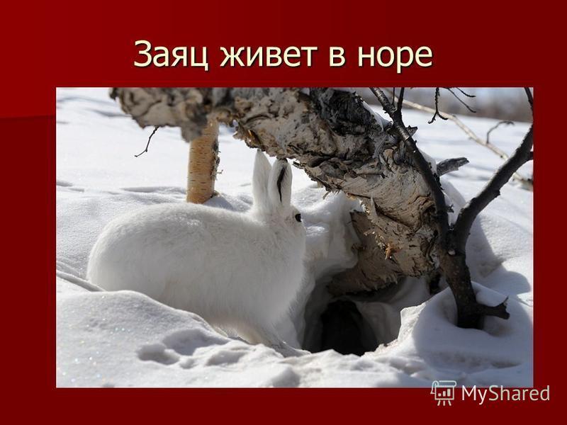 Заяц живет в норе