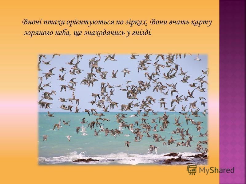 Вночі птахи орієнтуються по зірках. Вони вчать карту зоряного неба, ще знаходячись у гнізді.
