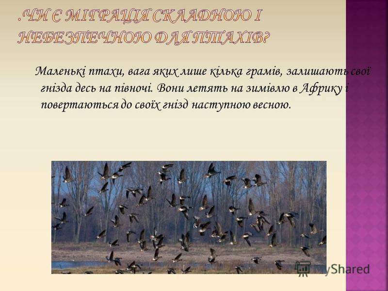 Маленькі птахи, вага яких лише кілька грамів, залишають свої гнізда десь на півночі. Вони летять на зимівлю в Африку і повертаються до своїх гнізд наступною весною.
