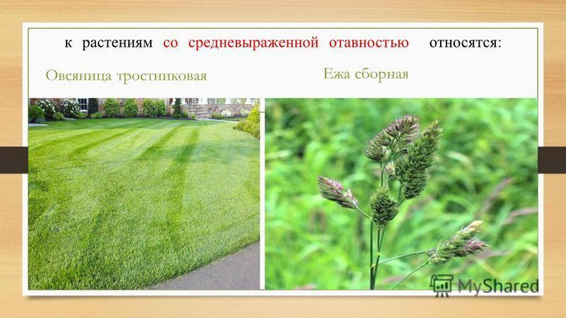 к растениям со средне выраженной активностью относятся: Овсяница тростниковая Ежа сборная