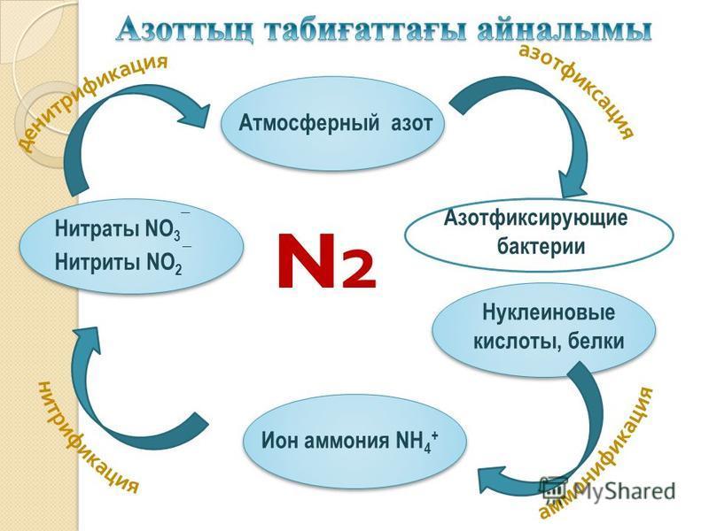 Азотфиксирующие бактерии Атмосферный азот Ион аммония NH 4 + Нуклеиновые кислоты, белки Нитраты NO 3 ¯ Нитриты NO 2 ¯ N2N2
