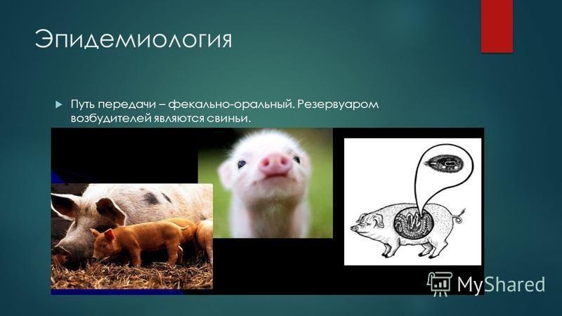 Эпидемиология Путь передачи – фекально-оральный. Резервуаром возбудителей являются свиньи.