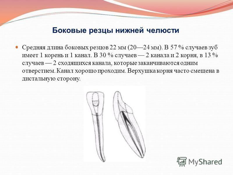 Боковые резцы нижней челюсти Средняя длина боковых резцов 22 мм (2024 мм). В 57 % случаев зуб имеет 1 корень и 1 канал. В 30 % случаев 2 канала и 2 корня, в 13 % случаев 2 сходящихся канала, которые заканчиваются одним отверстием. Канал хорошо проход