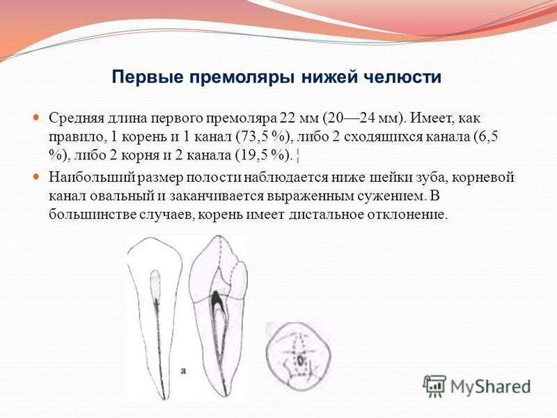 Первые премоляры нижней челюсти Средняя длина первого премоляра 22 мм (2024 мм). Имеет, как правило, 1 корень и 1 канал (73,5 %), либо 2 сходящихся канала (6,5 %), либо 2 корня и 2 канала (19,5 %). ¦ Наибольший размер полости наблюдается ниже шейки з