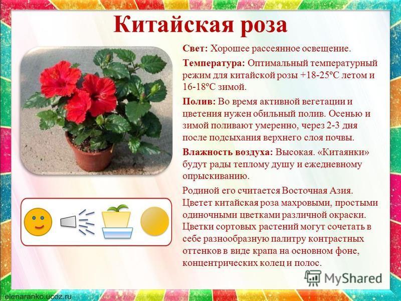 Китайская роза Свет: Хорошее рассеянное освещение. Температура: Оптимальный температурный режим для китайской розы +18-25ºС летом и 16-18ºС зимой. Полив: Во время активной вегетации и цветения нужен обильный полив. Осенью и зимой поливают умеренно, ч