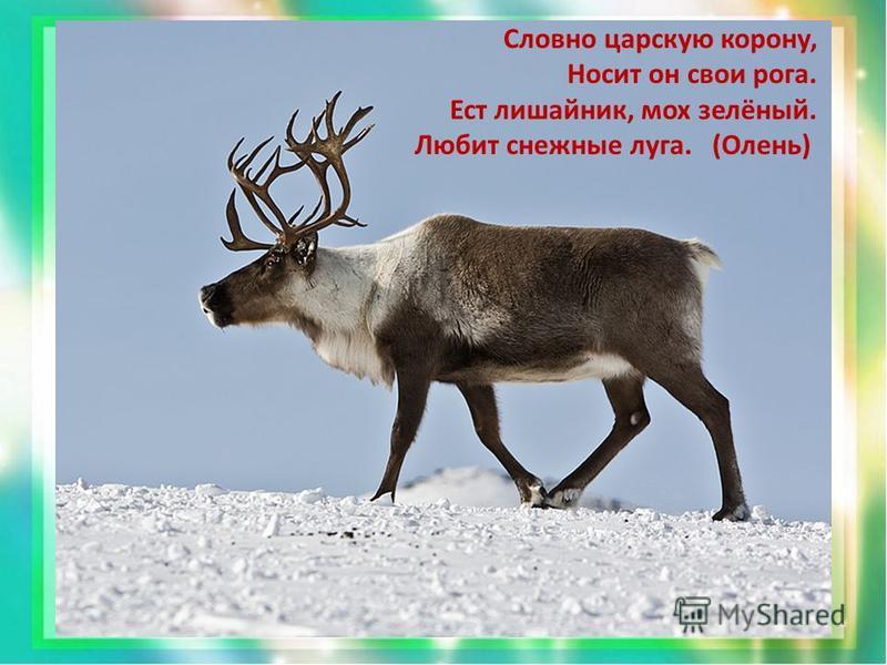 Словно царскую корону, Носит он свои рога. Ест лишайник, мох зелёный. Любит снежные луга. (Олень)