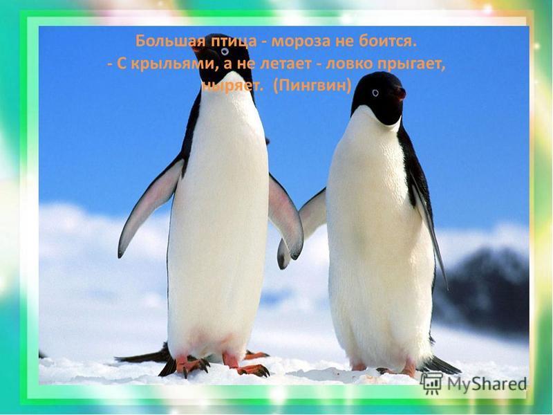Большая птица - мороза не боится. - С крыльями, а не летает - ловко прыгает, ныряет. (Пингвин)
