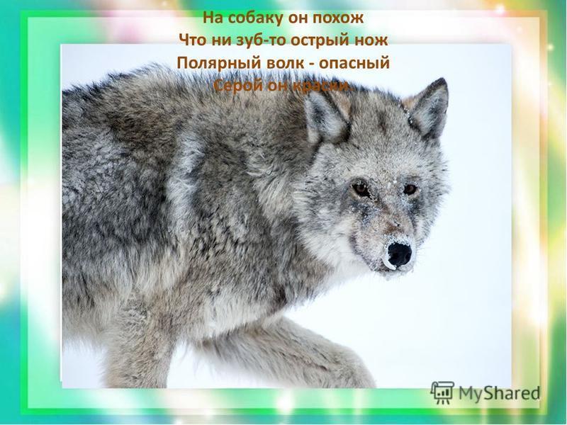 На собаку он похож Что ни зуб-то острый нож Полярный волк - опасный Серой он краски.