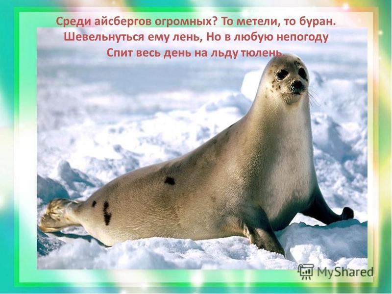 Среди айсбергов огромных? То метели, то буран. Шевельнуться ему лень, Но в любую непогоду Спит весь день на льду тюлень.