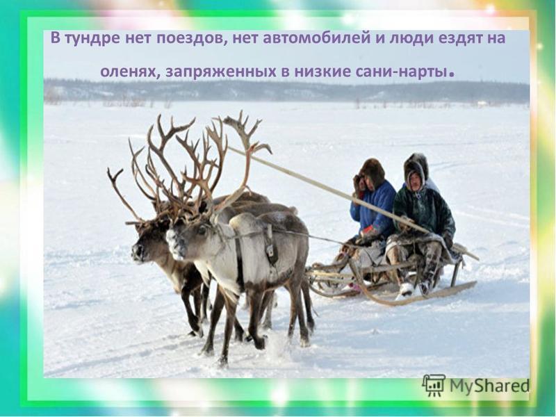 В тундре нет поездов, нет автомобилей и люди ездят на оленях, запряженных в низкие сани-нарты.